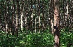 三叶橡胶树在庭院森林里 库存图片