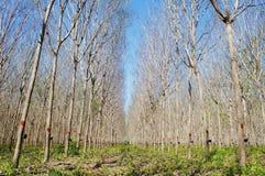 三叶橡胶树庭院 免版税库存图片