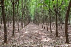 三叶橡胶树行在种植园庭院里 免版税库存照片