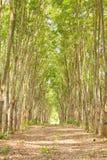 三叶橡胶树行 库存图片