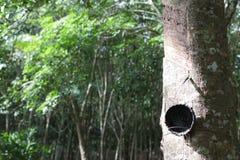 三叶橡胶树从事园艺与碗, Trang泰国 免版税库存图片