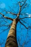 三叶橡胶树 免版税库存图片
