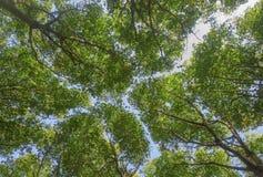 三叶橡胶树 库存照片