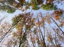 三叶橡胶树 库存图片