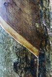 三叶胶Brasiliensis,三叶橡胶树 免版税库存照片