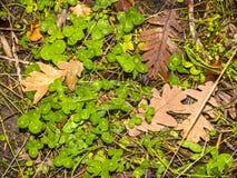 三叶草和橡木叶子自然纹理  库存图片