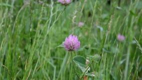 三叶草和蝴蝶野花在一个草甸本质上在阳光的在夏天在春天a特写镜头  股票录像