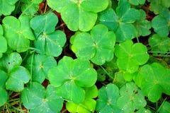 三叶草四绿色叶子 库存照片