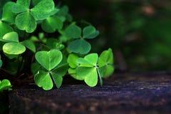三叶草在一个老树桩的夏天森林里 免版税库存照片