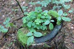 三叶草在森林里 免版税库存照片