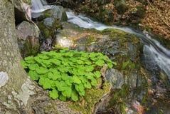 三叶草增长在一棵树的基地,在山小河的银行 库存照片