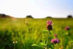 三叶草增长的草甸 免版税图库摄影