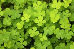 水三叶草幸运的绿色背景 库存图片