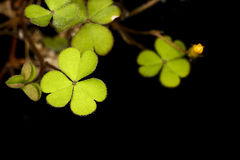 三叶草植物 免版税图库摄影