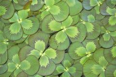 三叶草浮动的水 免版税库存照片