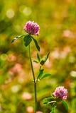 三叶草照片在自然被弄脏的背景的 库存图片