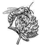 从三叶草的蜂花粉 传染媒介在白色背景的葡萄酒例证 图库摄影