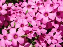 三叶草粉红色 图库摄影