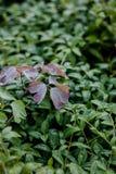 三叶草紫色叶子在绿草背景的与露滴在早晨 免版税库存照片