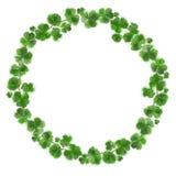 三叶草绿色花圈 在白色背景隔绝的爱尔兰好运灵符花圈 日设计帕特里克s st 库存照片