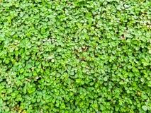 三叶草背景在庭院里 库存图片