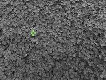 三叶草背景在庭院里 免版税图库摄影