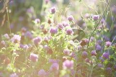 三叶草花在日落的 图库摄影