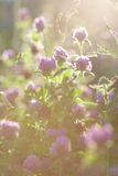 三叶草花在日落的 库存照片