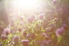 三叶草花在日落的 免版税图库摄影