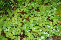 三叶草补丁在森林地板上的 免版税图库摄影