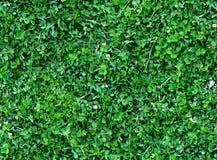 三叶草顶视图自然无缝的背景  免版税库存图片