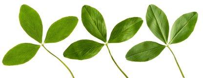 三叶草绿色叶子 免版税图库摄影