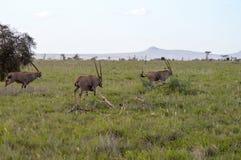 三吃草在大草原的羚羊属 图库摄影