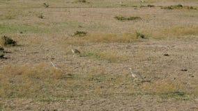 三啄在非洲大草原的黑鼓起的鸨鸟甲虫 股票录像