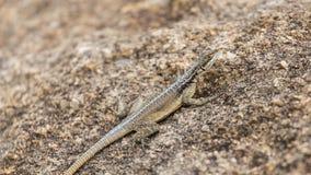 三在一个岩石伪装的被注视的被镀的蜥蜴在马达加斯加 免版税库存照片