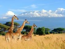 三在乞力马扎罗登上背景的长颈鹿在国家公园o 库存照片