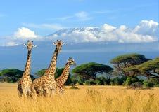 三在乞力马扎罗登上背景的长颈鹿在国家公园o 库存图片
