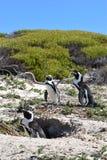 三在冰砾的逗人喜爱的公驴企鹅特写镜头在开普敦靠岸在南非 免版税库存图片