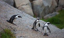 三在冰砾的非洲企鹅蠢企鹅demersus在从石头的开普敦南非乘驾附近靠岸 免版税图库摄影