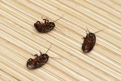 三在地板上的死的蟑螂在公寓里 库存照片