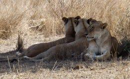 三在坦桑尼亚的雌狮 免版税库存图片