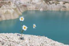 三在山坡的春黄菊 库存图片