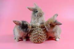 三在干净的桃红色背景的蓬松棕色兔宝宝 库存照片
