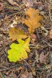 三在森林地板上的下落的橡木叶子 免版税库存照片