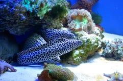 被察觉的海鳗家庭  免版税库存照片