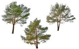 三在白色隔绝的绿色杉木 免版税库存图片