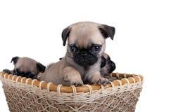 三在篮子的哈巴狗小狗 免版税库存照片