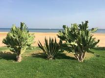 三在红海的岸的仙人掌 库存照片