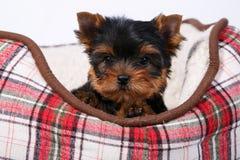 三在红细胞的长沙发的约克夏狗小狗 免版税库存图片