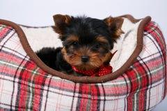 三在红细胞的长沙发的约克夏狗小狗 库存图片